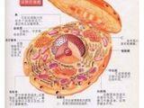 兔主动脉平滑肌细胞;SMC
