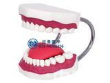 口腔护理操作模型,口腔清洁模型