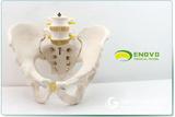 ENOVO颐诺男性骨盆模型 两节腰椎髋骨骶骨尾骨 人体骨骼模型骨科