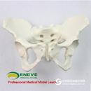 ENOVO颐诺标准女性骨盆妇科检查模型人体骨骼标本骨盆测量模型