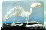 动物骨骼标本/?#38109;?#26631;本/解剖标本/骨架标本/河南百方千草贸易