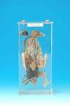 鴿解剖浸制標本