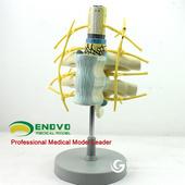 ENOVO頤諾胸椎脊髓脊神經交感神經干模型 人體脊柱模型神經纖維束