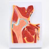 ENOVO頤諾醫學解剖髖關節骨骼肌肉模型髖關節剖面髖關節構造MRI關節肌肉骨骼解剖骨科教學