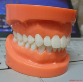 標準牙頜模型 A