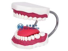 口腔護理操作模型,口腔清潔模型