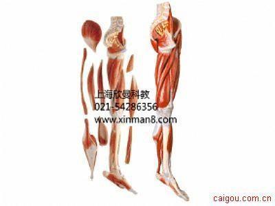 下肢肌肉附血管神经模型