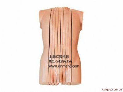 男性人体躯干矢状断层解剖模型