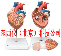 德国3B进口心脏模型    wi97237
