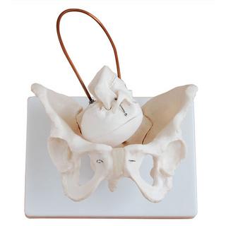 助产示教骨盆模型含胎儿头颅骨