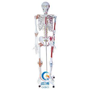 人體骨骼半邊肌肉著色半邊附韌帶模型
