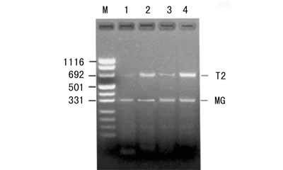 美国ATCC 人骨骼肌细胞株 35 #