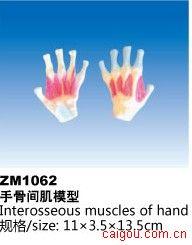手骨间肌模型