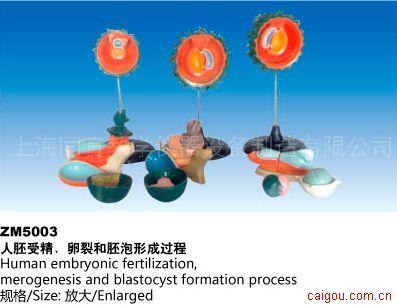 人胚受精、卵裂和胚泡形成过程