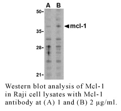 Anti-Human Mcl-1(NT)